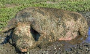 «Можно ли кормить свиней пищевыми отходами, т. е. помоями?»